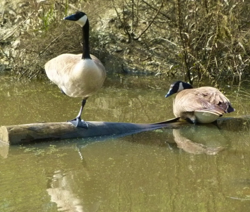 goose-paird