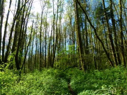 riparia trees (1280x960)