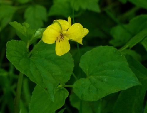 Viola glabella (1280x986)