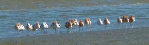avosetts (1280x960)