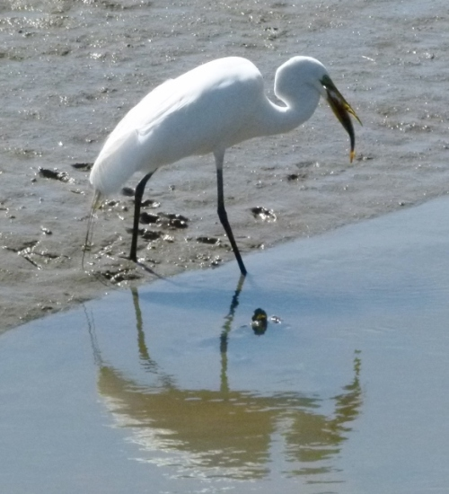 EGRET SWALLO