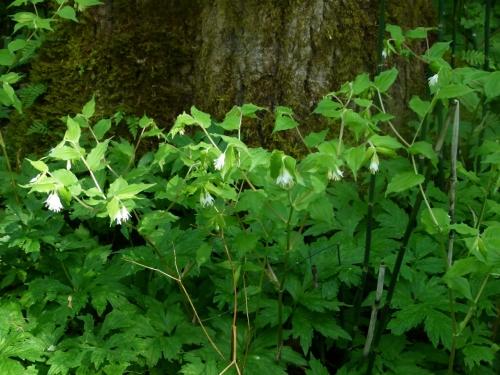 Hooker's fairybell plant