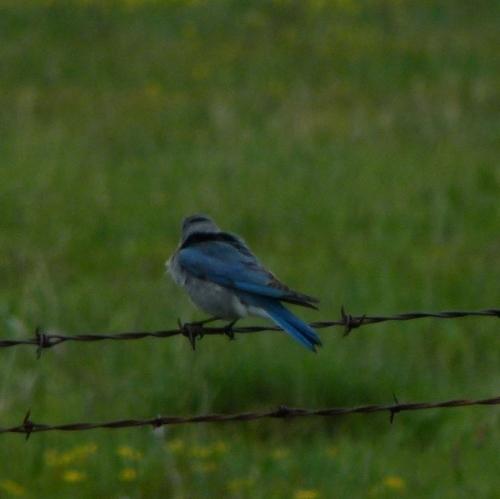 BLUE-MAL