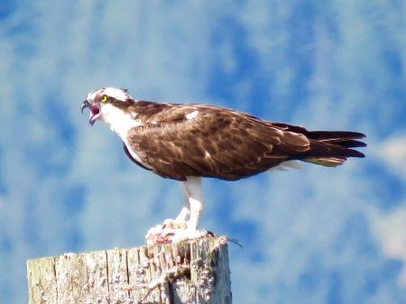 osprey anger