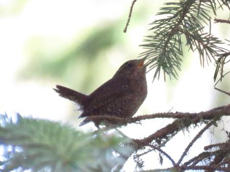 pac wren sing