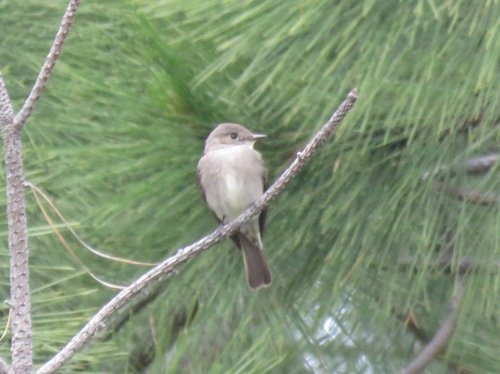 Willow Flycatcher ?