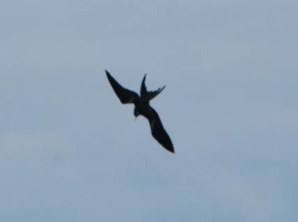 Frigatebird Dive