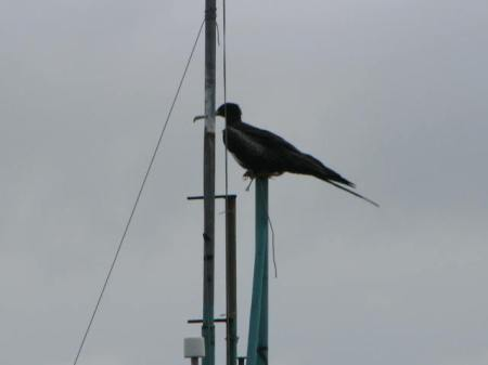 frigatebird on mast