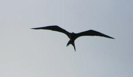Frigatebird Profile