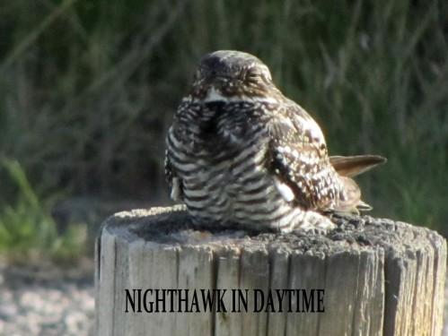NIGHTHAWK IN DAYTIME