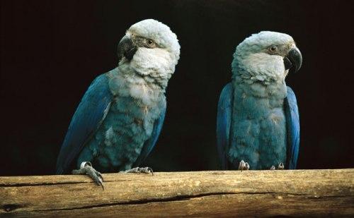 Spixs-macaw--014