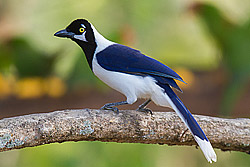 White-tailed_Jay