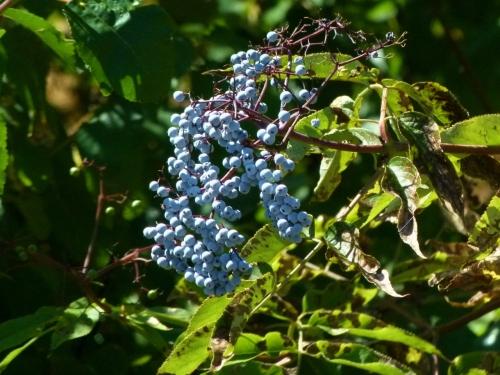 eberry