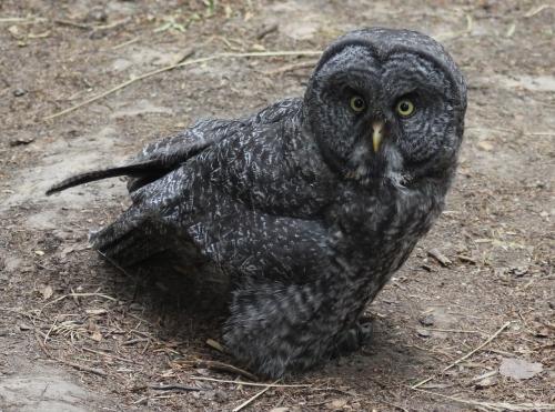 11-ggo-juvenile-downy-leg-feathers-8-3-15-84daf-img_2126-1280x951