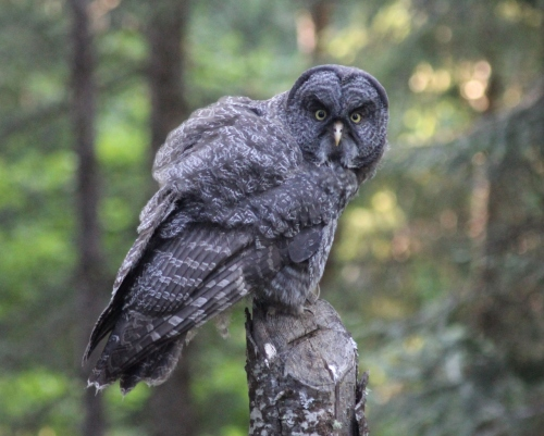 8-ggo-juvenile-beak-and-legs-7-21-15-img_9947-1280x1027
