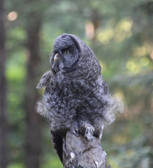 9-ggo-juvenile-downy-feathers-7-21-15-img_9976-1165x1280