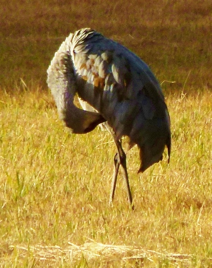 crane-belly-preen