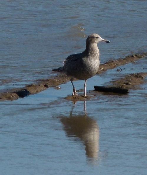 herr-gull