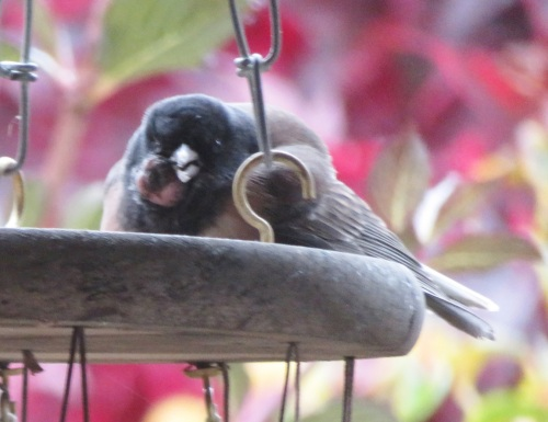 dying-junco