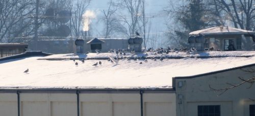 prison-gulls