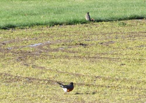 infield-robins