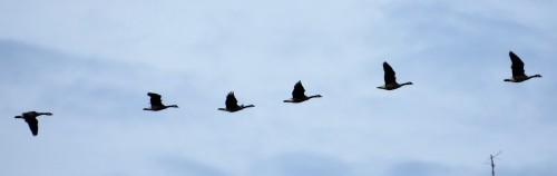 goose-line