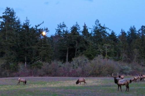 elk moon