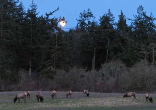 elk moon2