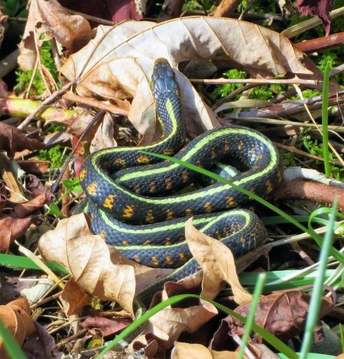 g-snake