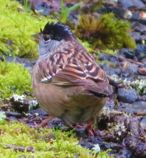 WET-CROWNED SPRO