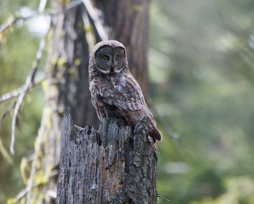Great-Grey-Owl-Howard-Prairie-circuit-Oregon-USA_20170418_4700