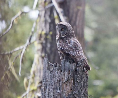 Great-Grey-Owl-Howard-Prairie-Circuit-Oregon--USA_20170418_4701
