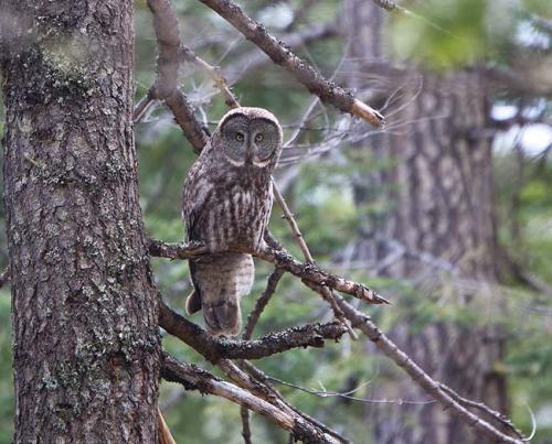 Great-Grey-Owl-Howard-Prairie-Circuit-Oregon--USA_20170418_4707