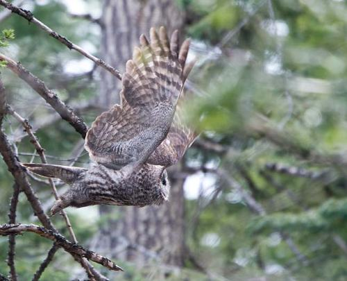 Great-Grey-Owl-Howard-Prairie-Circuit-Oregon-USA_20170418_4712