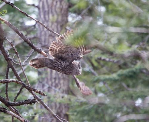Great-Grey-Owl-Howard-Prairie-Circuit-Oregon-USA_20170418_4713
