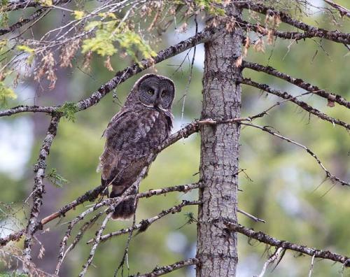 Great-Grey-Owl-Howard-Prairie-Circuit-Oregon-USA_20170418_4728