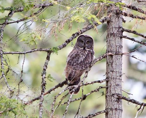 Great-Grey-Owl-Howard-Prairie-Circuit-Oregon--USA_20170418_4733