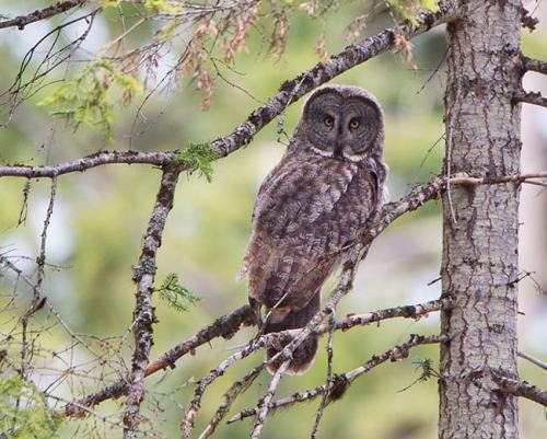 Great-Grey-Owl-Howard-Prairie-Circuit-Oregon--USA_20170418_4736