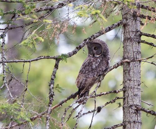Great-Grey-Owl-Howrd-Prairie-Circuit-Oregon--USA_20170418_4716
