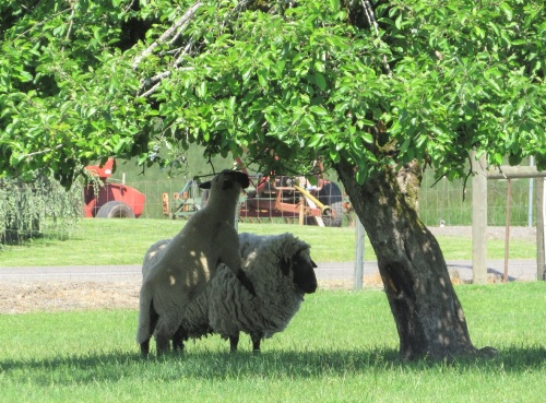 sheep co-op