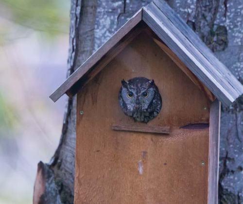 Western-Screech-Owl-Ashland-Oregon-USA_20170418_4818