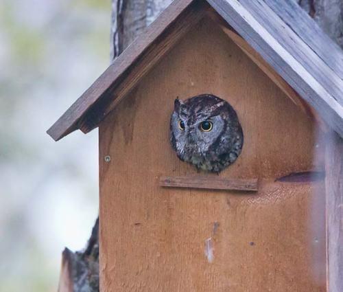 Western-Screech-Owl-Ashland-Oregon-USA_20170418_4823