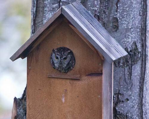 Western-Screech-Owl-Ashland-Oregon-USA_20170418_4825