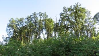 big oaks