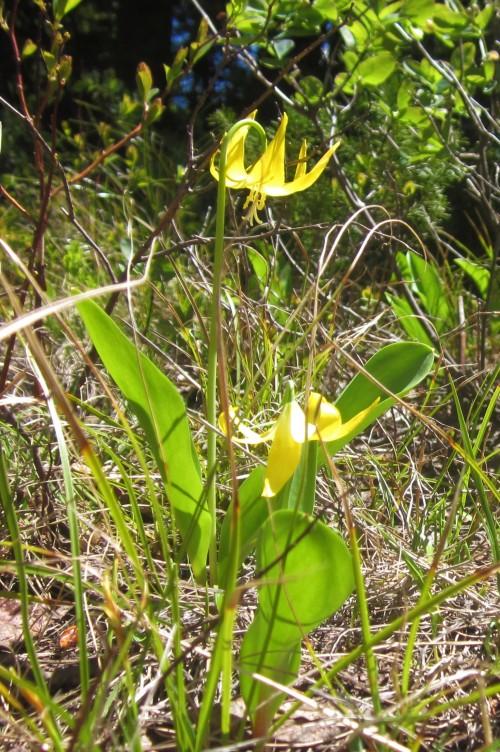 glc lily