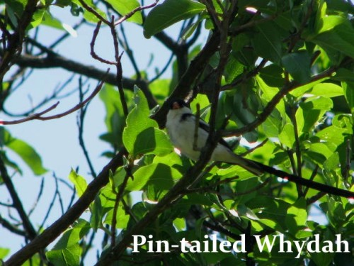PIN-TLD WHYDAH