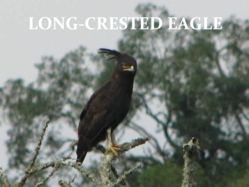 EAGLE, LONG-CRESTED
