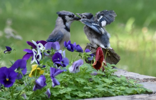 JAYS BEING FED