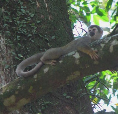 squirrel monk on limb