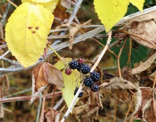 bb raisins
